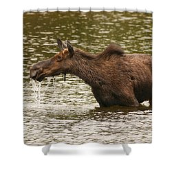 Moose In The Wilderness Shower Curtain