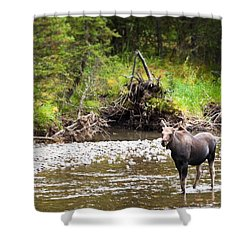 Moose In Yellowstone National Park   Shower Curtain by Lars Lentz