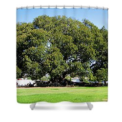 Moreton Fig Tree In Santa Barbara Shower Curtain