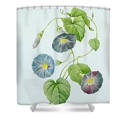 Morning Glory Shower Curtain by Pierre Joseph Redoute