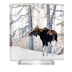Mr. Moose Shower Curtain by Cheryl Baxter