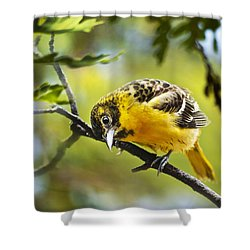 Musing Baltimore Oriole Shower Curtain by Christina Rollo