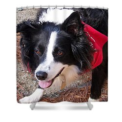 Shower Curtain featuring the photograph Female Border Collie by Eunice Miller