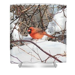 Northern Cardinal Shower Curtain by Karen Silvestri