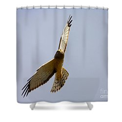 Northern Harrier Banking Shower Curtain by Mike  Dawson