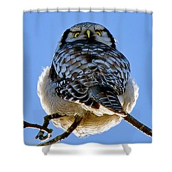 Northern Hawk Owl Looks Around Shower Curtain