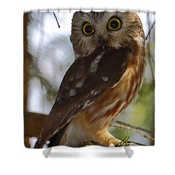 Northern Saw-whet Owl II Shower Curtain