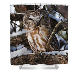 Northern Saw-whet Owl.. Shower Curtain by Nina Stavlund