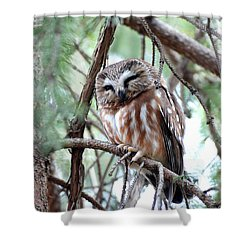 Northern Saw-whet Owl 2 Shower Curtain