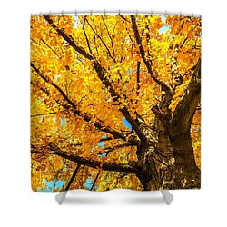 Oak In The Fall Shower Curtain by Mike Ste Marie