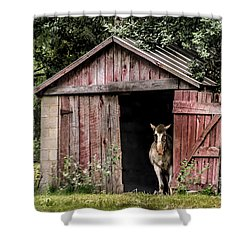 Old Gray Mare Shower Curtain by Debbie Green
