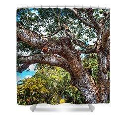 Old Tree In Eureka. Mauritius Shower Curtain by Jenny Rainbow