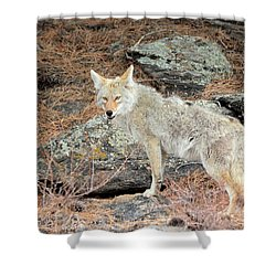 On The Prowl Shower Curtain by Shane Bechler