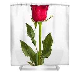 One Red Rose Shower Curtain by Adam Romanowicz