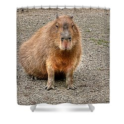 One Very Big Indifferent Rodent-the Capybara Shower Curtain by Eti Reid