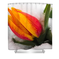 Orange And Red Tulip In The Snow Shower Curtain by Matthias Hauser