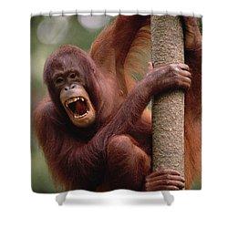 Orangutan Hanging On Tree Shower Curtain by Gerry Ellis