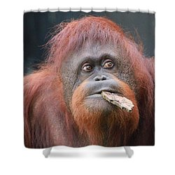 Orangutan Portrait Shower Curtain by Dan Sproul