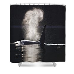 Orca Whale Surfaces Along A Forested Shower Curtain by John Hyde