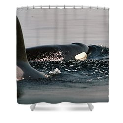Shower Curtain featuring the photograph Orcas/killer Whales Off The San Juan Islands 1986 by California Views Mr Pat Hathaway Archives