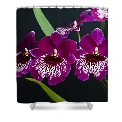 Orchid Miltonia Shower Curtain by Lana Enderle