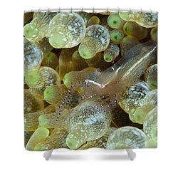 Ornate Anemone Shrimp In Anemone Shower Curtain by Steve Jones