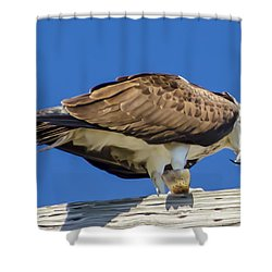 Osprey Eating Lunch Shower Curtain by Dale Powell