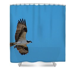 Osprey Flying Home With Dinner Shower Curtain by Robert Bales
