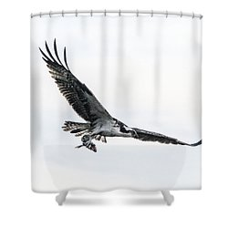 Osprey In Flight Shower Curtain