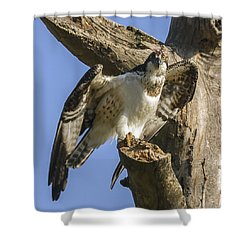 Osprey Pose Shower Curtain by David Lester