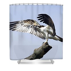 Osprey Pride 2 Shower Curtain by David Lester