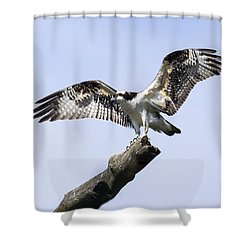 Osprey Pride  Shower Curtain by David Lester