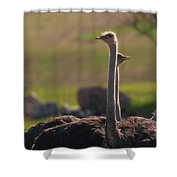 Ostriches Shower Curtain by Dan Sproul