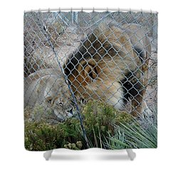Out Of Africa Lions 4 Shower Curtain