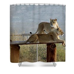 Out Of Africa Lions Shower Curtain
