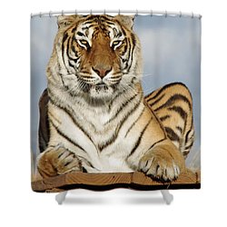 Out Of Africa Tiger 4 Shower Curtain