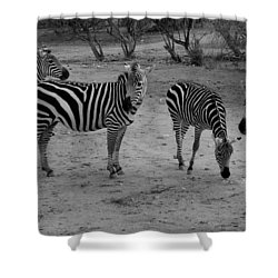 Out Of Africa  Zebras Shower Curtain