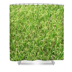 Paddy Field Shower Curtain by Yew Kwang