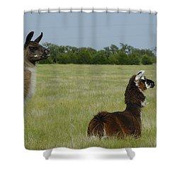 Pair Of Alpacas Shower Curtain by Charles Beeler