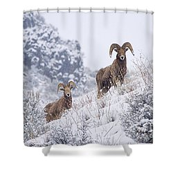Pair Of Winter Rams Shower Curtain by Mike  Dawson