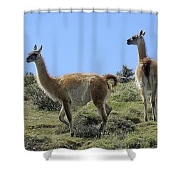 Patagonian Guanacos Shower Curtain by Michele Burgess