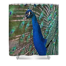 Peacock Display Shower Curtain by Susan Candelario