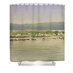Pelicans At Poddy Shot Shower Curtain by Elaine Teague