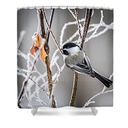 Perched Black Capped Chickadee Shower Curtain by Paul Freidlund