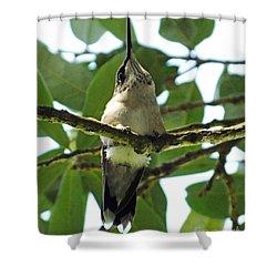 Shower Curtain featuring the photograph Perched Hummingbird by Lizi Beard-Ward