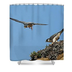 Peregrine Falcons - 6  Shower Curtain