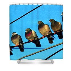 Pigeon Beauty Pageant  Shower Curtain