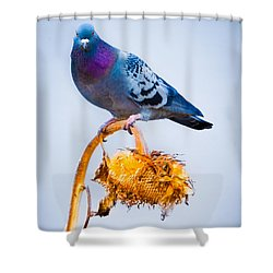 Pigeon On Sunflower Shower Curtain by Bob Orsillo