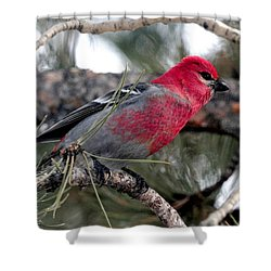 Pine Grosbeak On Ponderosa Pine Tree Shower Curtain