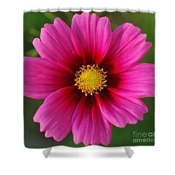 Pink Cosmos Shower Curtain by Kathleen Struckle